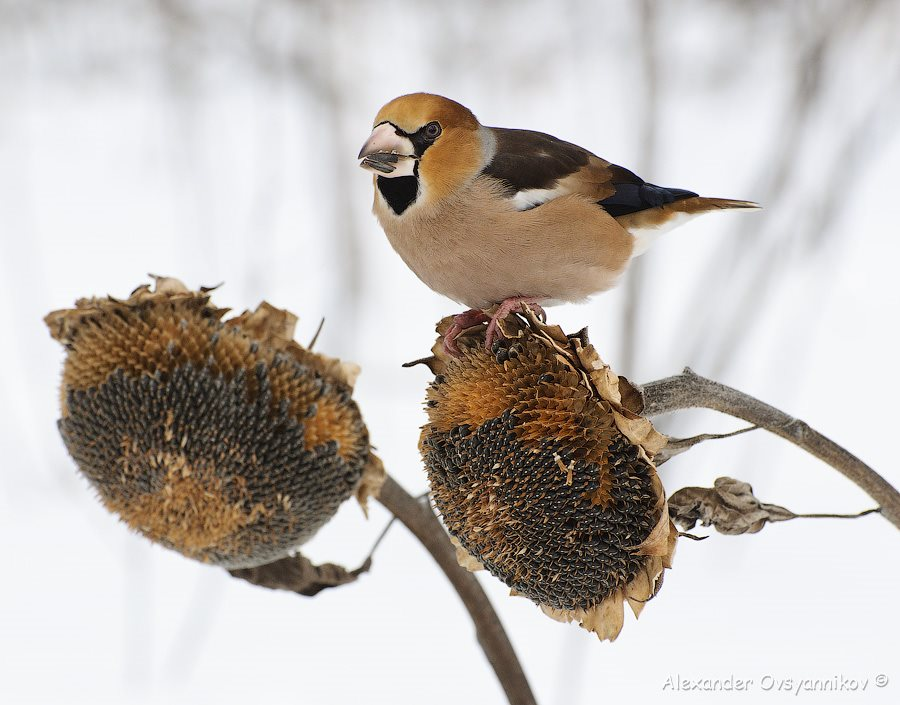 Дубонос (Coccothraustes coccothraustes) (11)