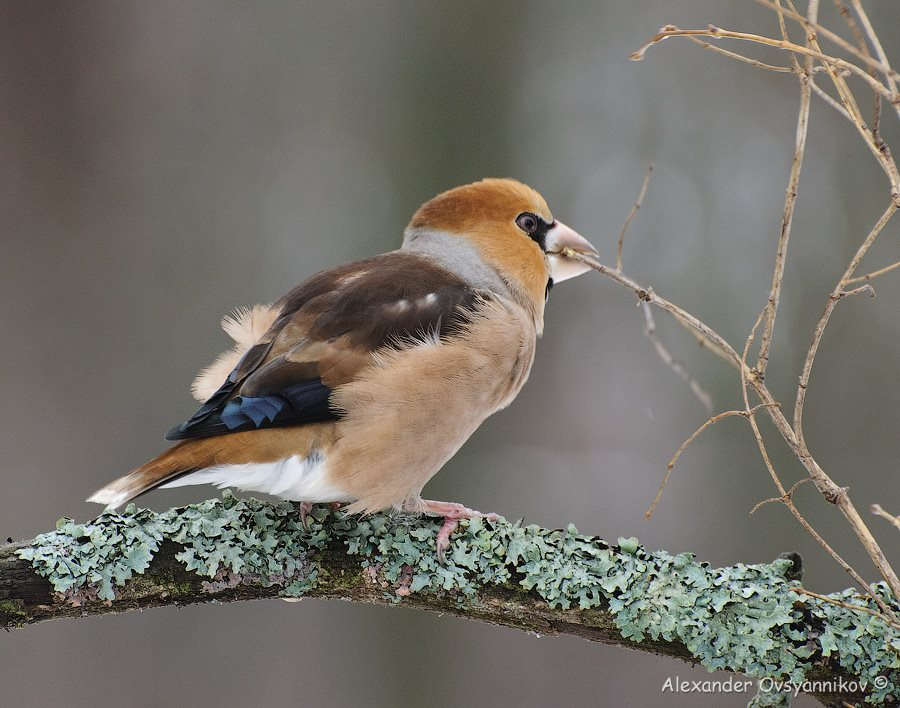 Дубонос (Coccothraustes coccothraustes) (13)
