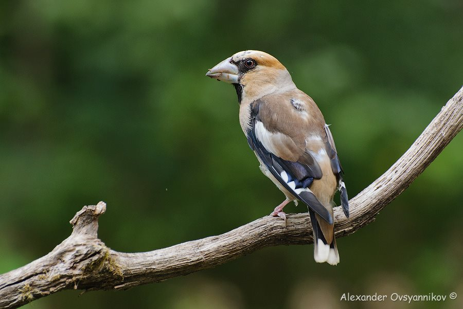 Дубонос (Coccothraustes coccothraustes) (14)