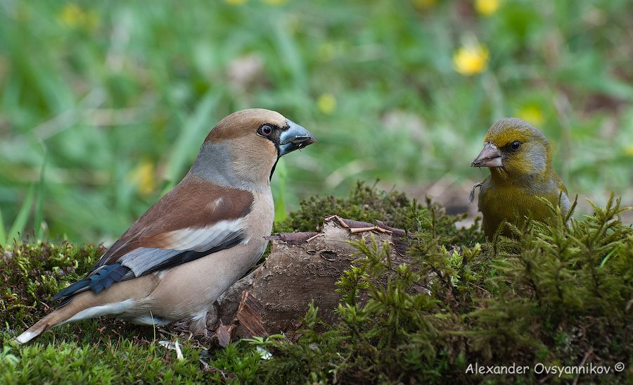 Дубонос (Coccothraustes coccothraustes) (5)