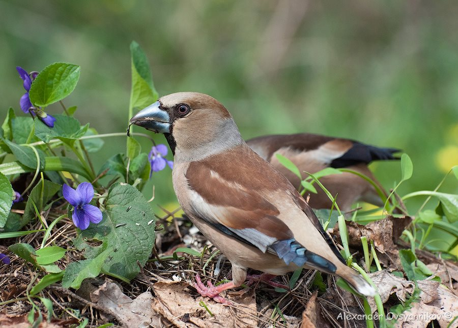 Дубонос (Coccothraustes coccothraustes) (6)